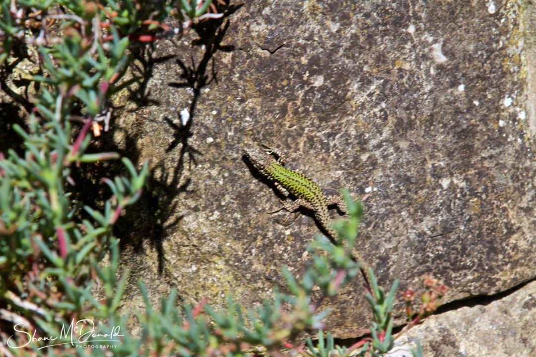 Isle of Wight Wildlife - Lizard on a rock