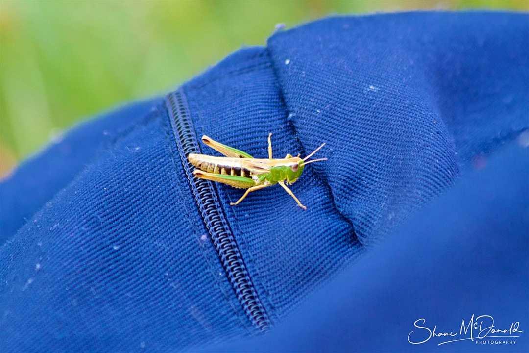 Grasshopper on Butser Hill National Nature Reserve