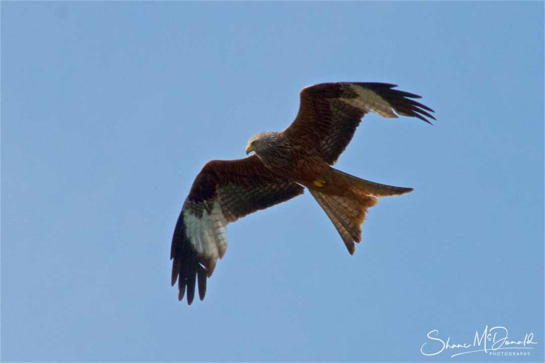 Red Kite at Petersfield in the South Downs National Park