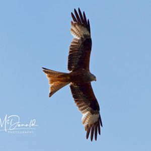 Red Kite Soars at Petersfield in the South Downs National Park