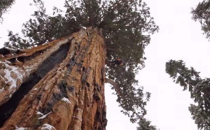 Shangrala's Magnificent President Tree