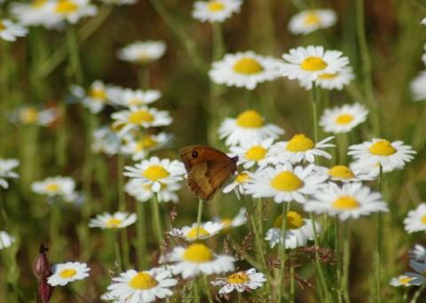 Anthemis austriaca – CORN CHAMOMILE