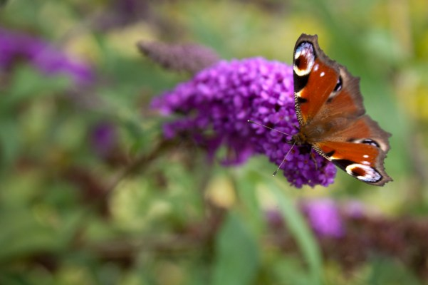 Butterfly enjoying the flowers in this wildlife garden