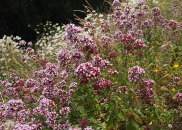 Origanum vulgare - ORIGANO. Wild life gardens.
