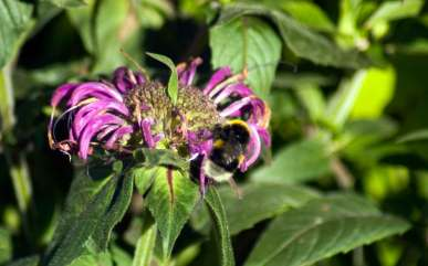 Bergomot and Bees, wildlife trust