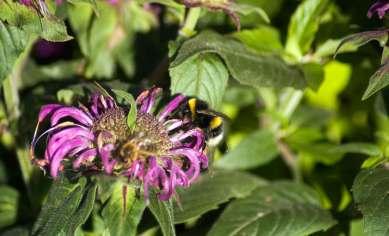 Bergomot and Bees, wildlife trust