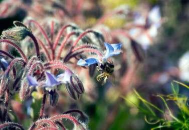 Borage and bees, wildlife trust