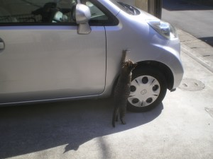 Stray_cat_touching_a_car