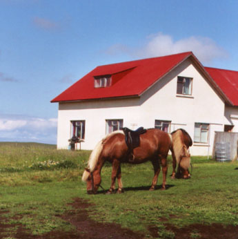 Icelandic horses have retained a fifth gait, called the tölt, which is somewhere between a trot and a canter. When the beauty of Icelandic horses is mentioned, it is sometimes pointed out that when the bad ones are eaten, after 1000 years you end up with some pretty good horses.