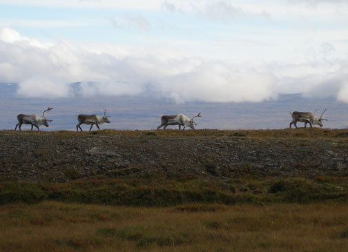 There are herds of reindeer roaming in northeast Iceland- we were lucky enough to spot these after leaving Leirnjúkur to head south.