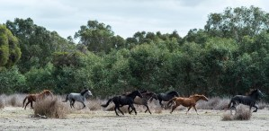Percherons running as a herd - shannon kate equine portraiture