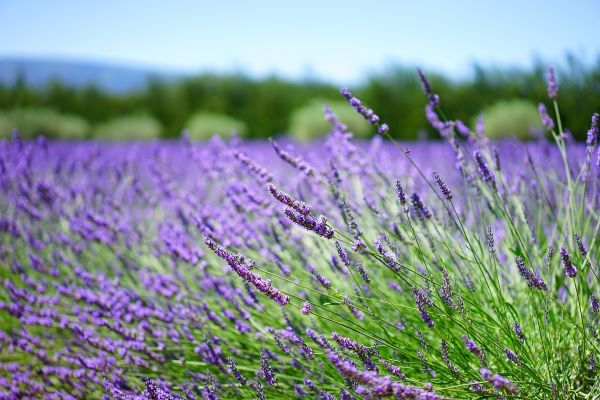 Lavender flowers in field