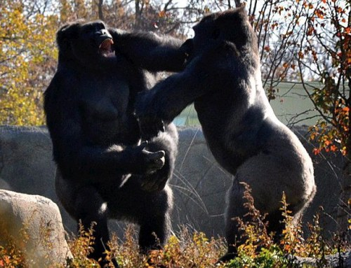 Photos-Of-Gorilla-Fighting-2