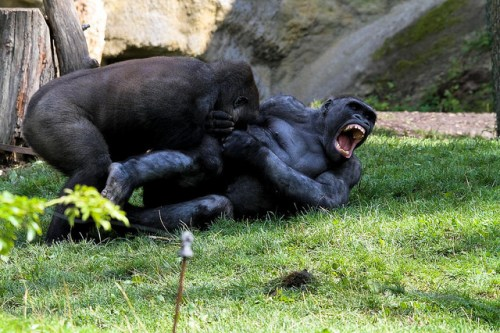 Photos-Of-Gorilla-Fighting-5
