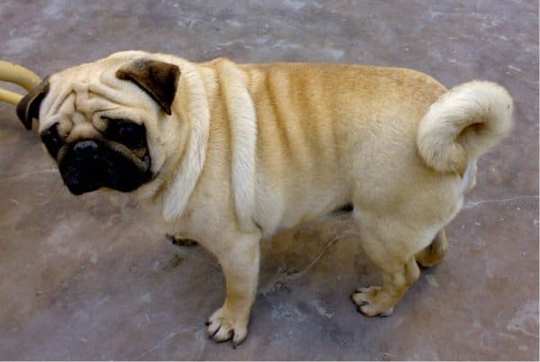 The Lovable Different Pug Colors Sharda Bakers Dog World