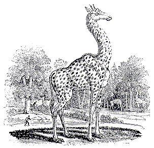 AKA Giraffe