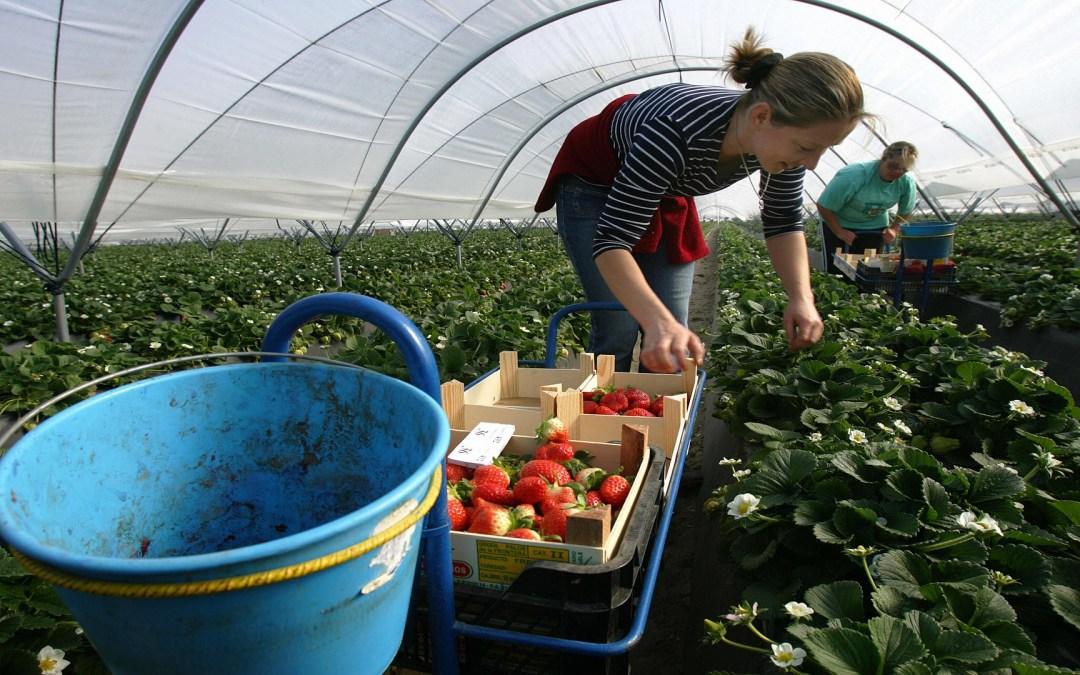 العاملات المغربيات في حقول الفراولة الإسبانية فريسة الاغتصاب والتحرش!