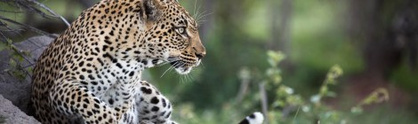 Ringing in New Years with Leopards and Family at Londolozi