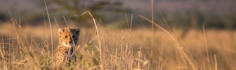 Cheetahs of Phinda