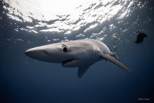 Point sur les requins et pêches thonnières dans l'océan Indien.