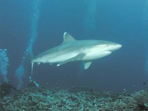 requin pointe blanche de récif -- ©Clark Anderson