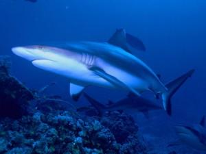 Requin Gris -- ©Par Albert kok