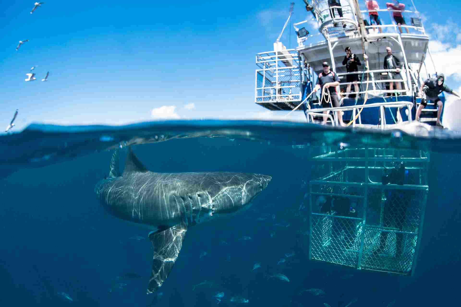 Image result for Cage diving with sharks, Cape Town, South Africa