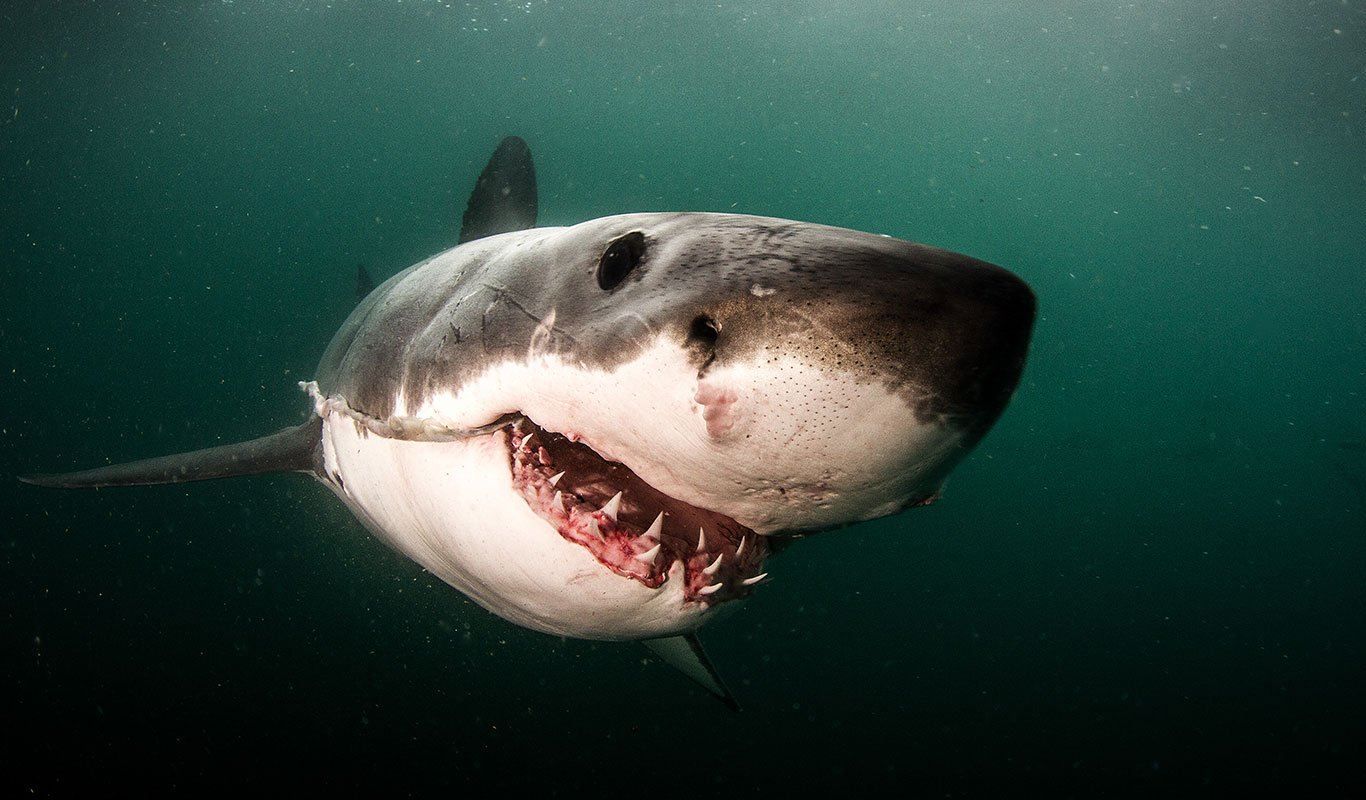 Great White Shark Cage Diving By Shark Explorers