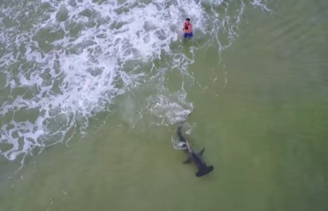VIDEO: Drone captures hammerhead caught in Panama City