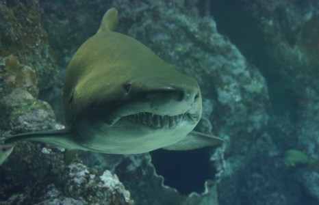 Research shows complex social network of sharks