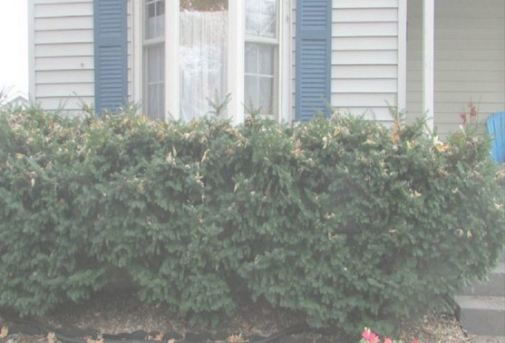 Hasta la vista: Removing evergreen bushes