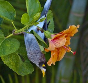 A noisy miner bird hanging from a hibiscus flower in my garden