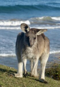 One of the many beautiful Eastern Grey Kangaroo at the Look At Me Now Headland