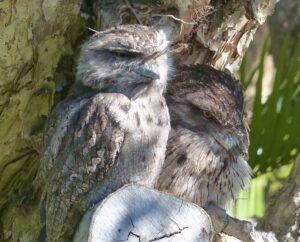 Two tawny frogmouths facing my veranda that looked over over me for the entire year