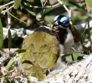 A blue-faced honeyeater bird feeding its chick