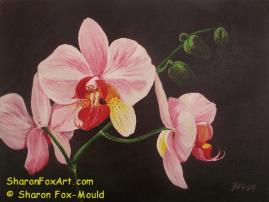 Pink Phalaenopsis Orchid 2009