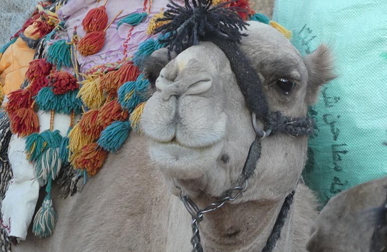 Sinai Dam Camel