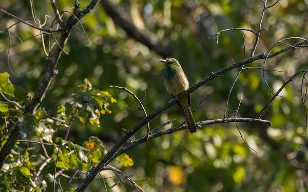 BR Hills is a good destination to catch sight of the Blue-bearded Bee-Eater, usually found in the vicinity of broad-leaved forests.