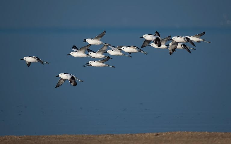Crab-Plover-Close-Flock-flight