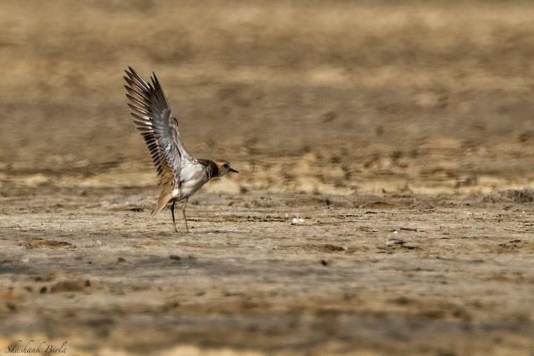 caspian-plover-underwing