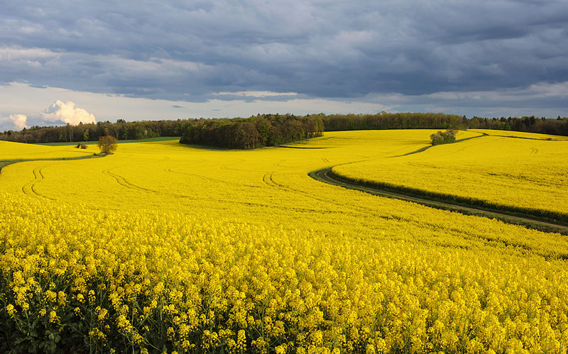 Field of rapeseed - Photo by Myrabella