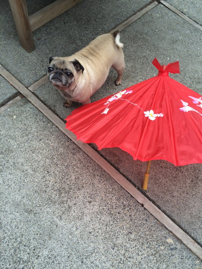 Elfie the Chinese Birthday Pug!