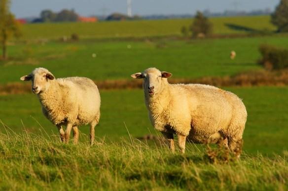 sheep looking at the camera