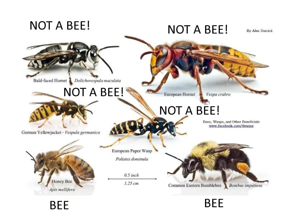 Identifying Bees and Wasps