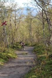 Rentiere kreuzen unseren Weg nach Nissonjohka