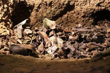 Knochen einiger Höhlenbären