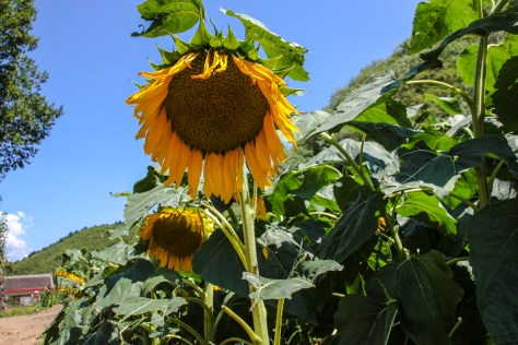 Sonnenblumenfeld hinter dem Bauernhaus