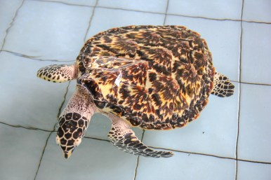 Hawksbill Turtle im Turtle Conservation and Education Center Bali
