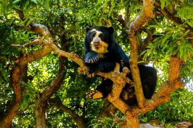 Cholita chillt im Baum. Brillenbären sind gute Kletterer.