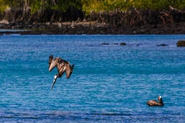 Pelikan im Sturzflug